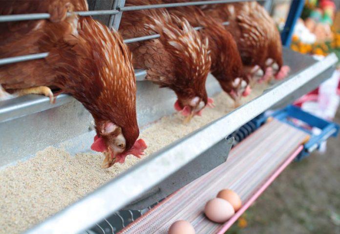 Επικίνδυνα κοτόπουλα από τη Βουλγαρία