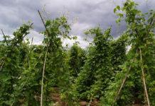"""""""Ισοπέδωσε"""" η κακοκαιρία τις καλλιέργειες φασολιών στις Πρέσπες"""